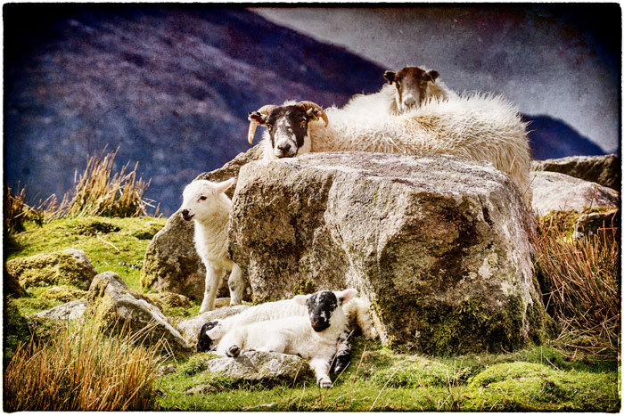 Ardhasaig Spring Lambs