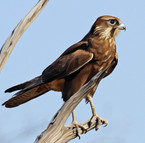 Red Tailed