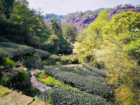 Blog 11: Tea Plants Do Not Produce Tea?!