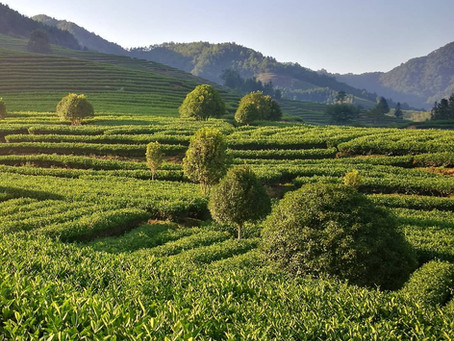 Blog 140: Why Do Tea Plants Like Acidic Soil?