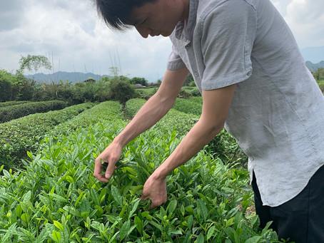 Blog 114: Our Spring Oolong Tea Season Has Begun