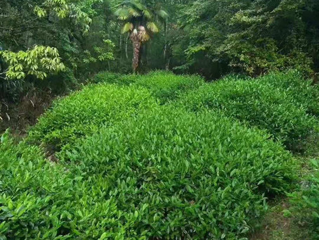 Blog 101: How Do We Protect and Enhance Our Tea Mountains?