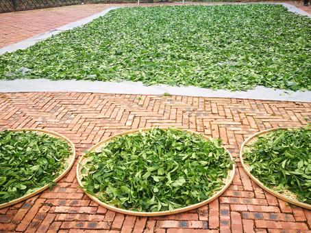 Blog 16: The Evolution of Tea Leaf Fragrance During Tea-making (Part I)