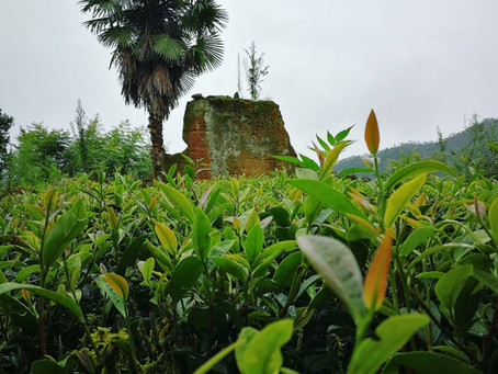 Blog132: Tea Cultivars and Tea Categories