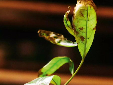 Blog 15: An Individualized Processing of Fresh Leaves