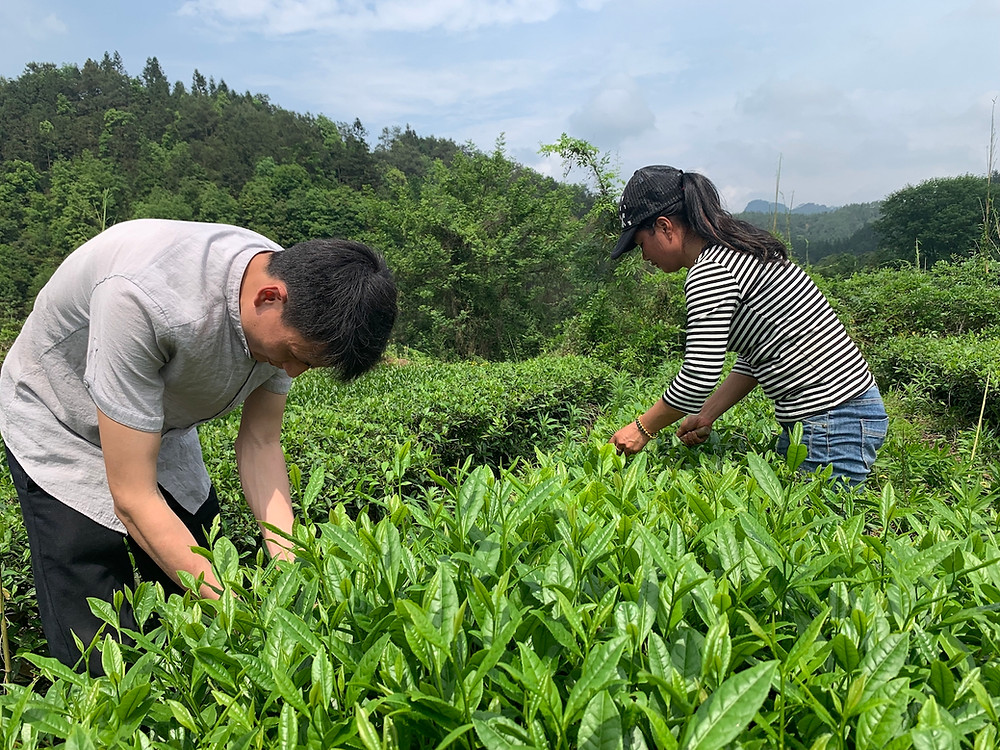 Valley Brook Tea | Blog | Our tea mountain fields in Huangcun (click for more info)