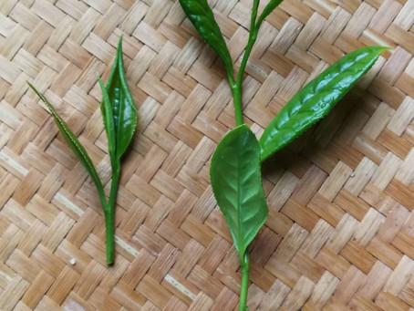Blog 6: A Common Misunderstanding of Tea