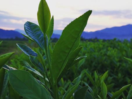 Blog 58: The Secret of Lao Cong (old plant) Shui Xian