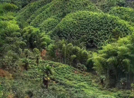 Blog 67: A Leap of Faith: The Creation of Black Tea