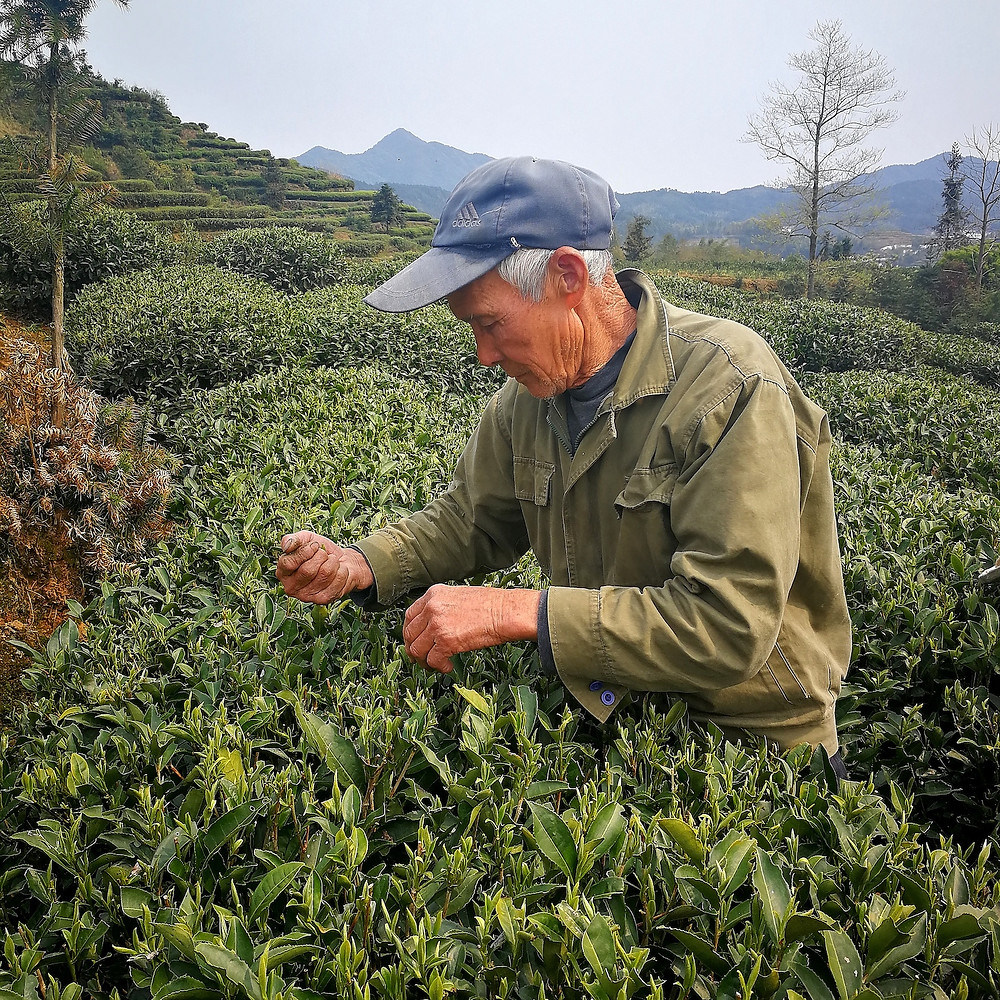 Valley Brook Tea | Blog | Plucking fresh leaves for white tea production