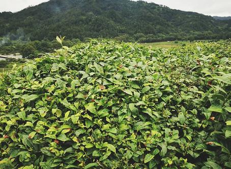 "Blog 169: Why Do Tea Plants Need ""Haircut""?"