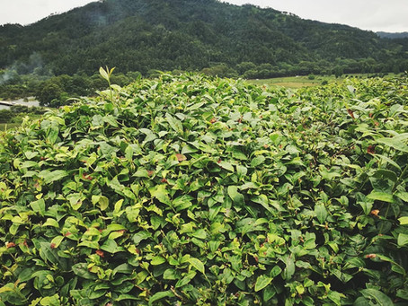 "Blog 169: Why Do Tea Plants Need ""Haircut""?"