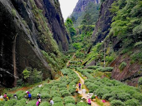 Blog 97: The Naming of Tea Mountain Fields (Wuyi Oolong/Yancha)