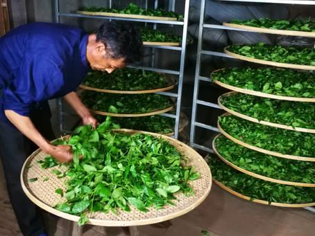 Blog 17: The Evolution of Tea Leaf Fragrance During Tea-making (Part II)