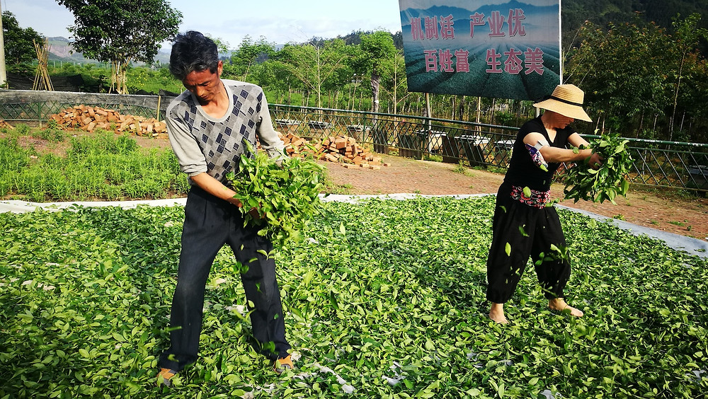 Valley Brook Tea | Blog | Spreading leaves. (this is actually Oolong tea tea-making)