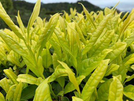 Blog 111: Old Tea is Aged Tea?
