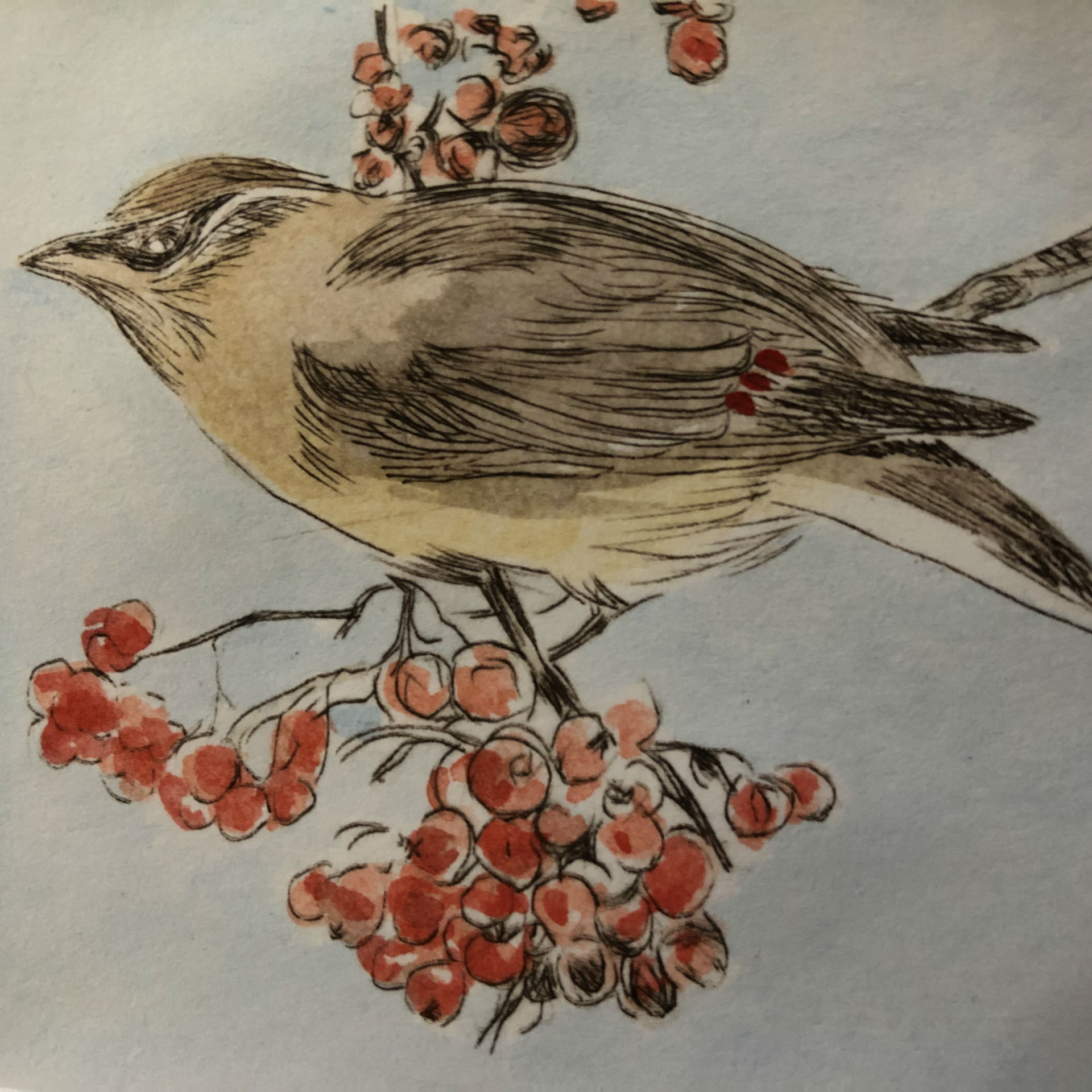 Love berries (Cedar waxwing)