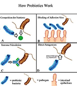 How Probiotics work1.png