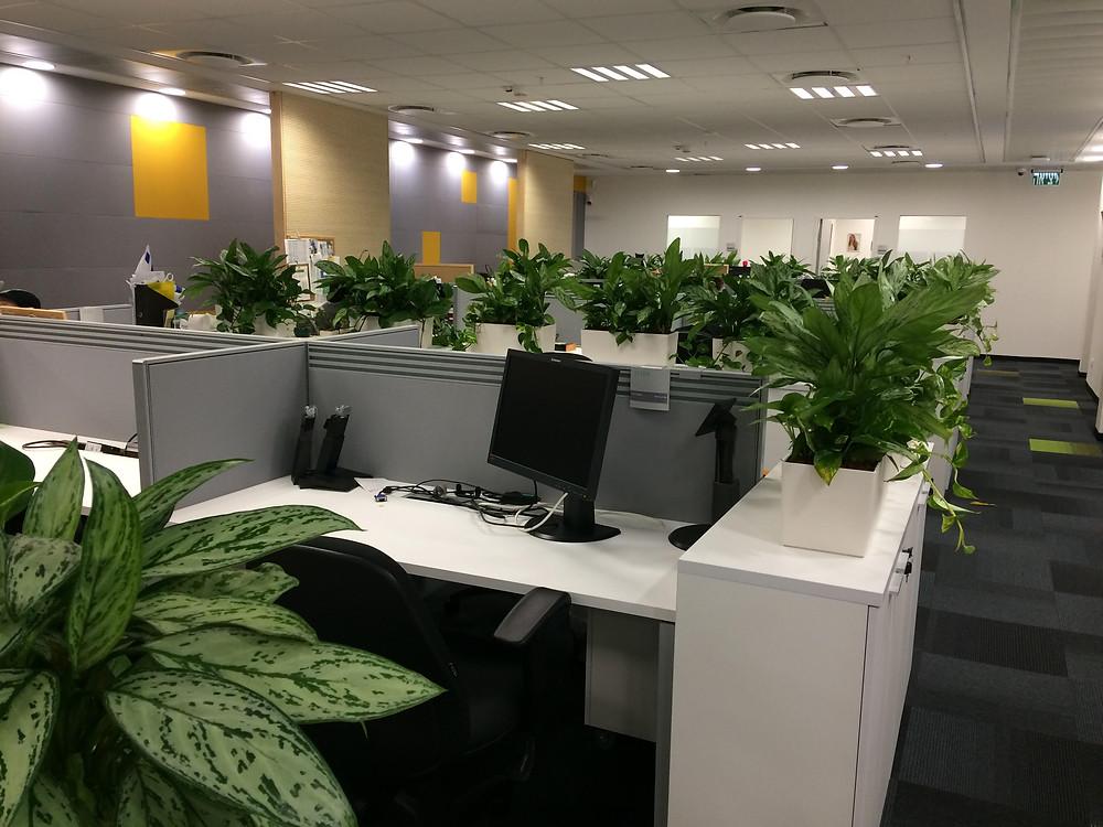צמחי אגלונמה באדניות מדף