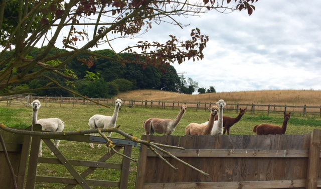Alpacas from front window