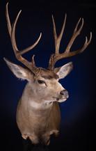 Mule Deer Should Mount