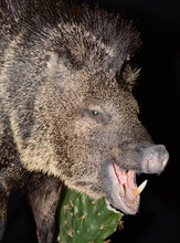 Javelina Close Up