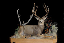 Mule Deer Laying Down