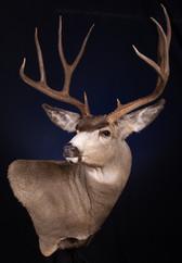 Mule Deer Wall Pedestal