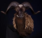 Black Hawaiian Ram