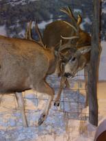 Dueling Deer at Museum of Northwest Colorado