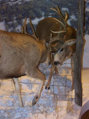 Dueling Deer at Museum of Northwest Colorado