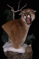 Cougar Shoulder