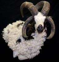 Fourhorn Sheep