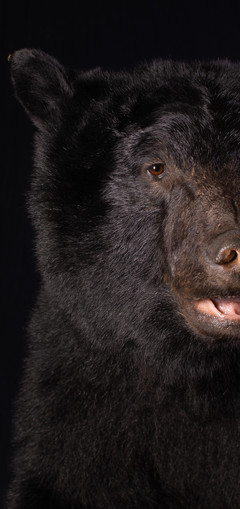 Black Bear Close Up
