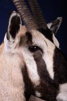 Gemsbok Close Up