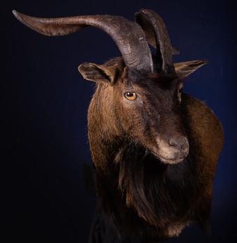 Hawaiian Ibex