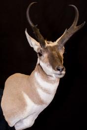 Antelope Shoulder
