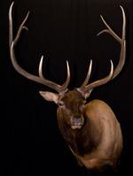 Bull Elk Shoulder Mount