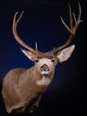 Mule Deer Shoulder