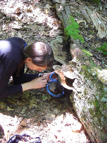 Forked fungus beetle research