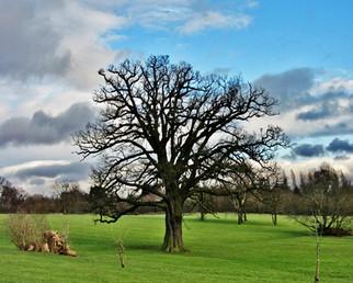 Mature Oak at Elmdon Park
