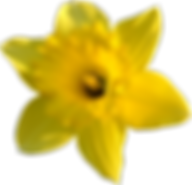 daffodil_stock_by_pomprint-d4tvkqn[1].pn