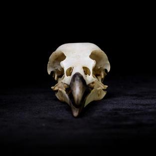 Eye of the Corvus: Messenger of Truth