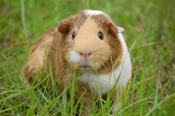 Quick Update: Salmonella Enteridis in Pet Guinea Pigs