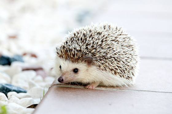 Quick Update: Salmonella Typhimurium Associated With Pet Hedgehogs