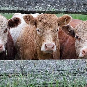 Oulton's Cows.jpg