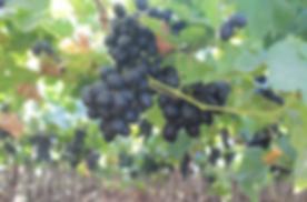 Farm Shudh Grapes.png