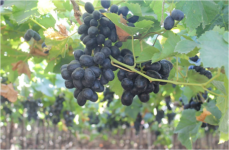 Farm Shudh Grapes.png
