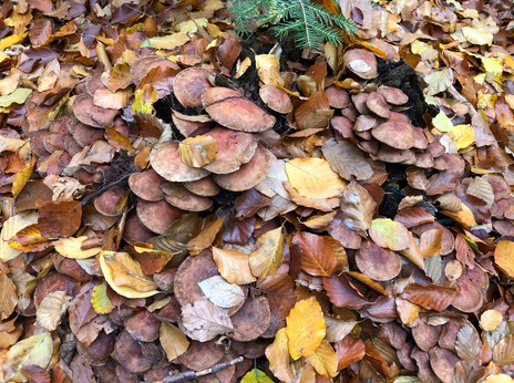 10 Blaetterhaufen und getarnte Pilze.jpg