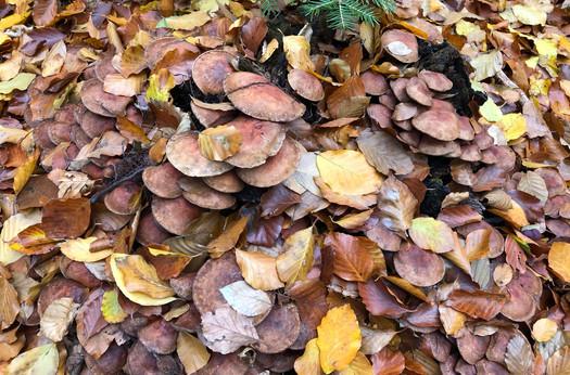 Gut getarnte Pilze im Blätterhaufen
